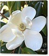 Fragrant Magnolia Acrylic Print