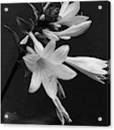 Fragrant Plantain Lily Acrylic Print