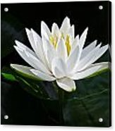 Fragrant Water-lily Acrylic Print