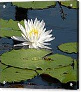 Fragrant White Waterlily - Nymphaea Odorata - Florida Native Acrylic Print