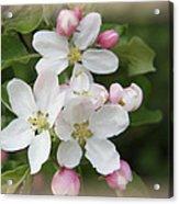 Framed Apple Blossom Acrylic Print