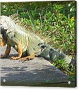 Framed Iguana Acrylic Print