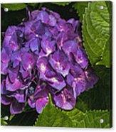 Framed Purple Blue Hydrangea Blossom Acrylic Print
