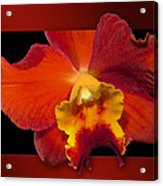 Framed Red Orchid  Acrylic Print