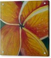 Frangipani Bloom Acrylic Print by Robert Bray