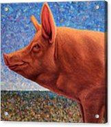 Free Range Pig Acrylic Print