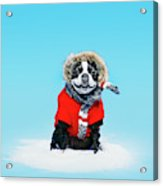 French Bull Terrier Wearing Jacket Acrylic Print