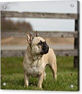 French Bulldog Acrylic Print by Paulina Szajek