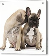 French Bulldog Puppies Acrylic Print