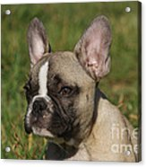 French Bulldog Puppy Acrylic Print