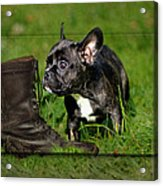 French Bulldogs Acrylic Print by Heike Hultsch