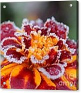 French Marigold Named Durango Red Outlined With Frost Acrylic Print