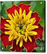 French Marigold Named Solan Acrylic Print