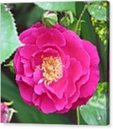 French Rose Acrylic Print