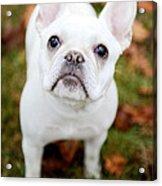 Frenchie Eyes Acrylic Print