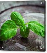 Fresh Basil Acrylic Print by Mythja  Photography