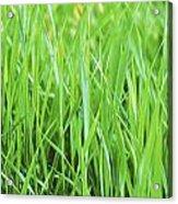 Fresh Grass Acrylic Print