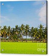 Fresh Green Rice Field Acrylic Print