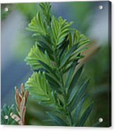 Fresh Growth Redwood Acrylic Print