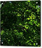 Fresh Linden Tree Foliage - Featured 2 Acrylic Print