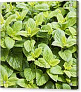 Fresh Mint Acrylic Print