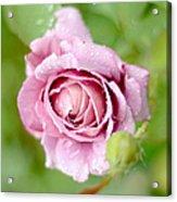 Fresh Morning Rose Acrylic Print