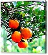 Fresh Orange On Plant Acrylic Print