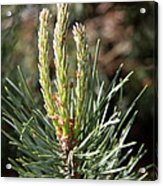 Fresh Pine Sprouts Acrylic Print