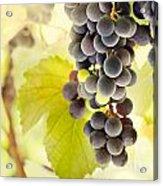 Fresh Ripe Grapes Acrylic Print by Mythja  Photography