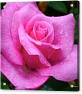 Fresh Sweet Surrender Rose Acrylic Print
