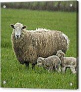 Freshly Made - Winter Lambs Acrylic Print
