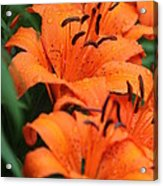Freshly Showered Tiger Lilys Acrylic Print