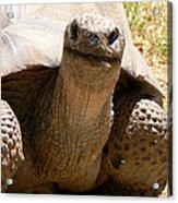 Friendly Tortoise Acrylic Print