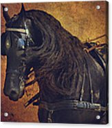 Friesian Under Harness Acrylic Print by Lyndsey Warren