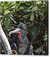 Frigate Bird- Hawaii V2 Acrylic Print