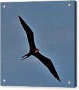 A Frigate Bird Over Costa Maya, Mexico Acrylic Print