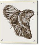 Frilled Lizard Acrylic Print