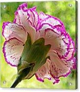 Frilly Carnation Acrylic Print