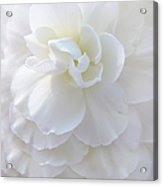 Frilly Ivory Begonia Flower Acrylic Print by Jennie Marie Schell