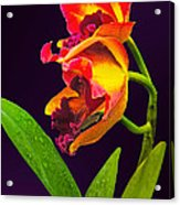 Frilly  Red And Yellow Orchids Acrylic Print