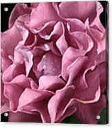 Frilly Rose Acrylic Print