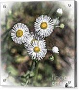 Fringed Daisy Acrylic Print