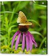 Fritilarie Butturfly On Purple Cone Flower Acrylic Print