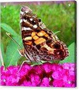 Fritillary Butterfly  Acrylic Print by Kim Galluzzo Wozniak