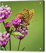 Fritillary Butterfly Square Format Acrylic Print