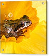 Frog And Daffodil Acrylic Print by Jean Noren
