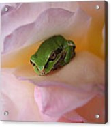 Frog And Rose Photo 2 Acrylic Print
