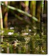 Frog Eyes Acrylic Print