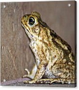 Frog-facing The Wall Acrylic Print by Miguel Hernandez