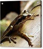 Frog In Costa Rica Acrylic Print